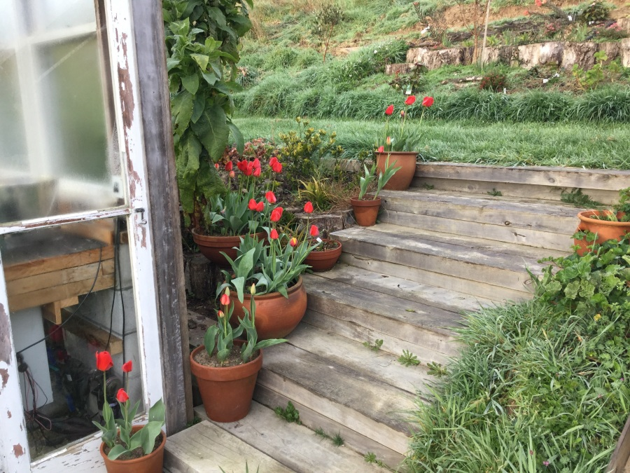 Red tulips in pots