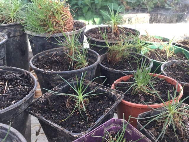 Armeria propagation cuttings