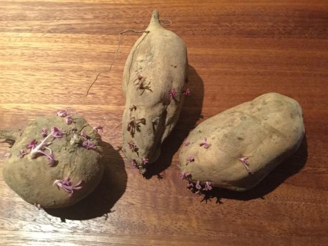 Kumara sprouting