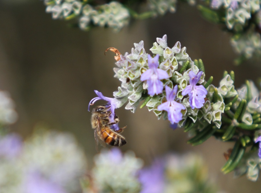 Honey bee on Rosemary Chefs choice