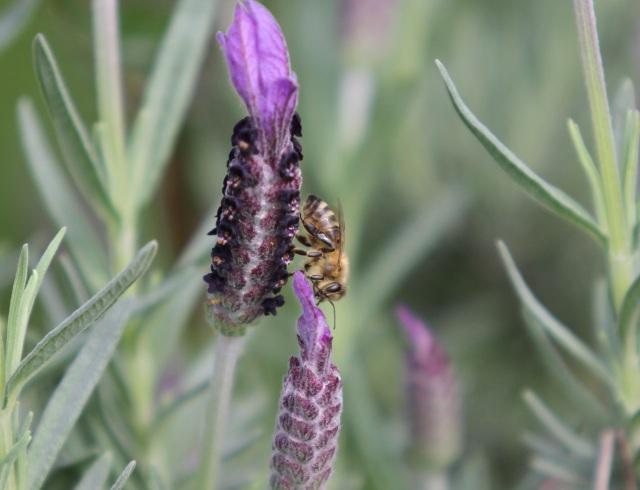 Honey bee on lavender