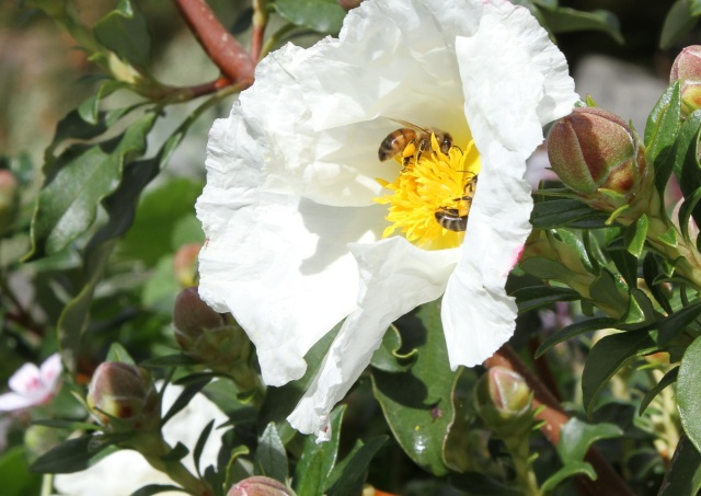 Honey bees on Cistus Rock rose Bennett white