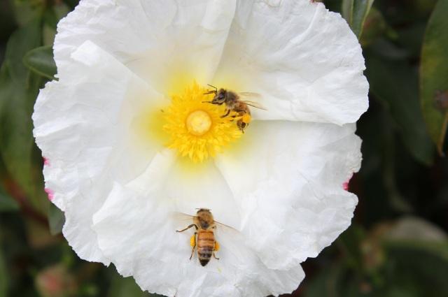 Honey bees on Cistus Rock rose Bennett white