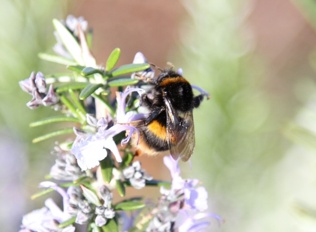 Bumble bee on Rosemary official is