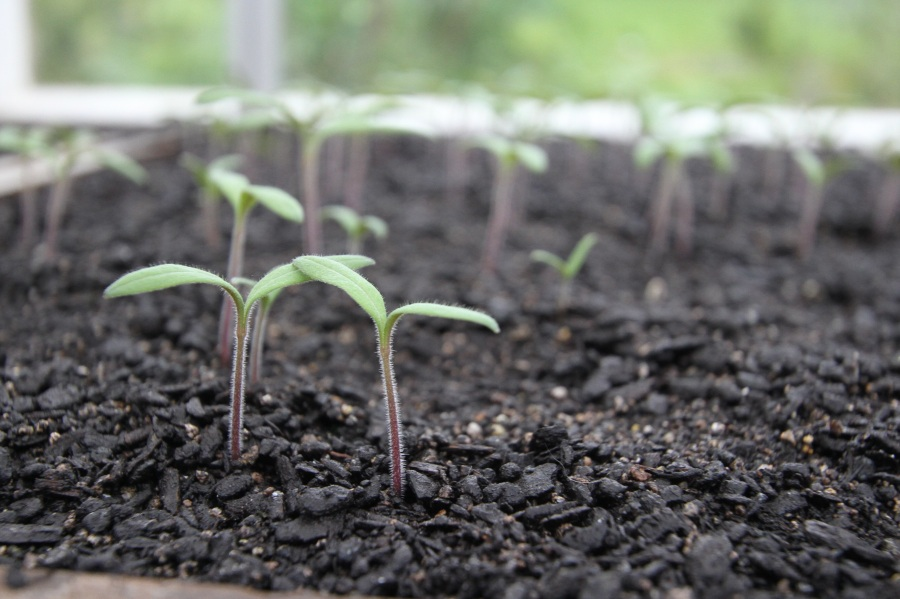 Tomatoes seedlings