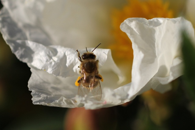 Bee on cistus Bennets White