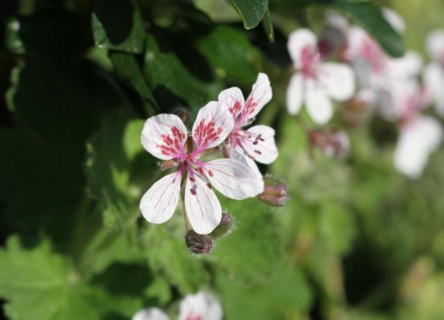 Erodium flower