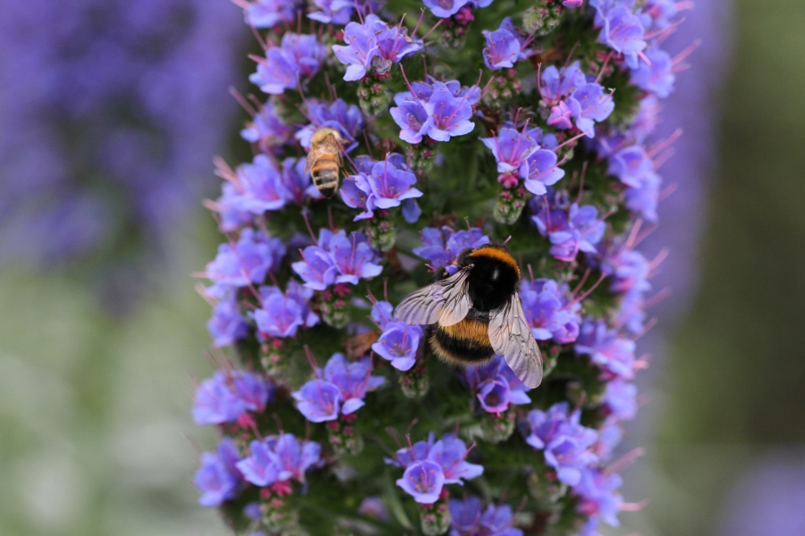 bee and bumble bee on echium pride of madiera