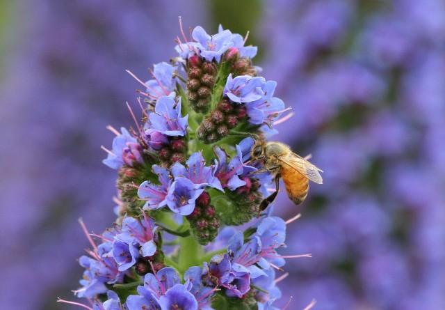 bee on echium candicans