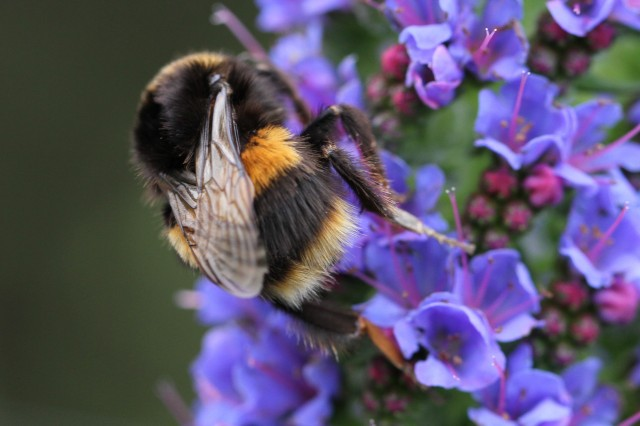 bumble bee on echium candicans