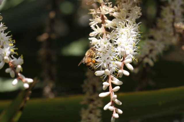 bee on cabbage tree