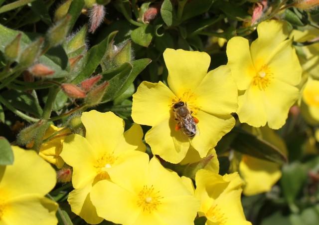 bee pollen on yellow cistus