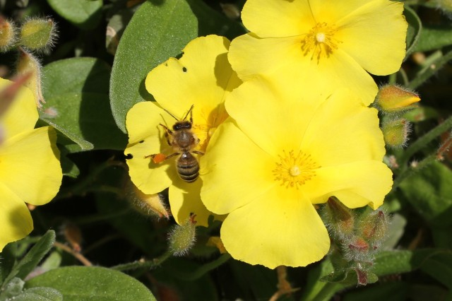 bee with pollen on cistus yellow fever