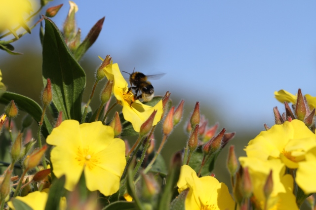bumble bee on cistus yellow fever