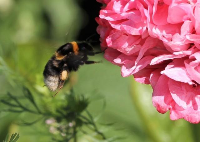 bumble bee on poppy