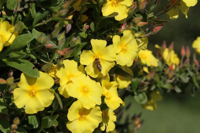 yellow fever cistus with honey bee