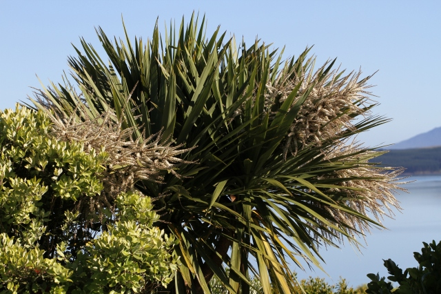 cabbage trees cordyline in flower