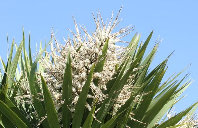 cordyline flower