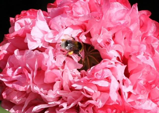 little bumble bee in poppy