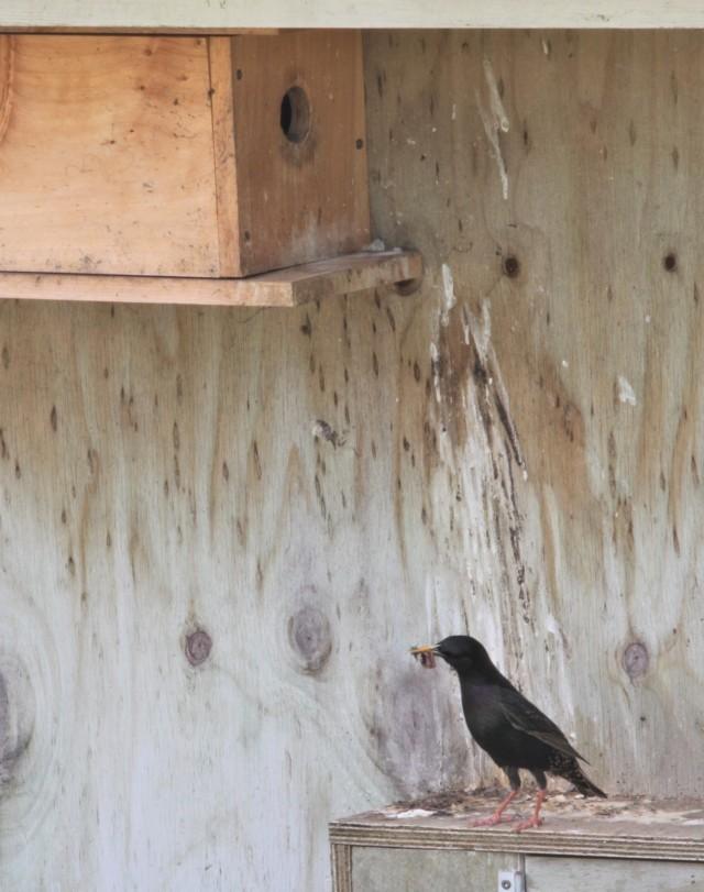 starling suspicious
