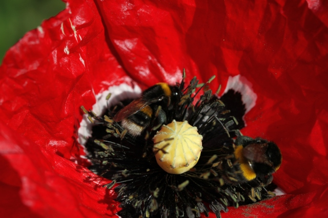 bumble bees on soldier poppy