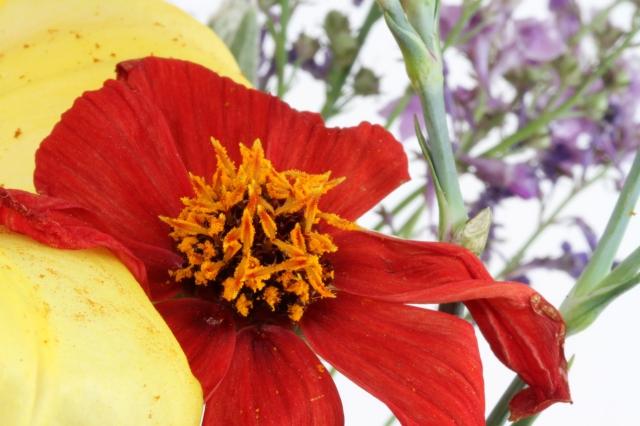 dahlia pollen