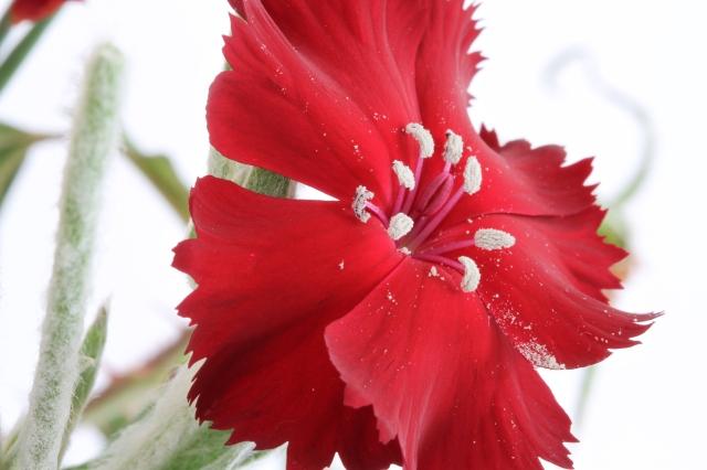 dianthus pollen