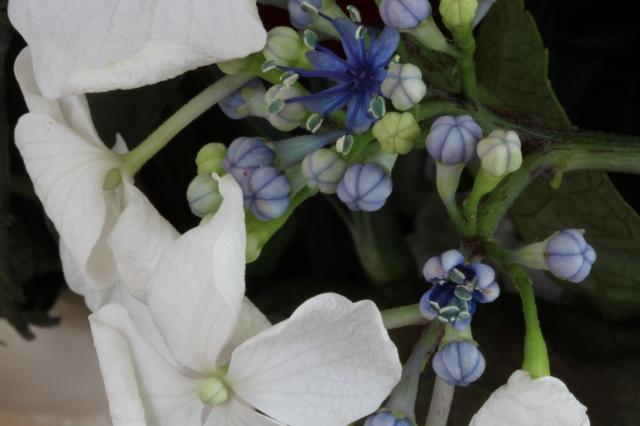 hydrangea pollen