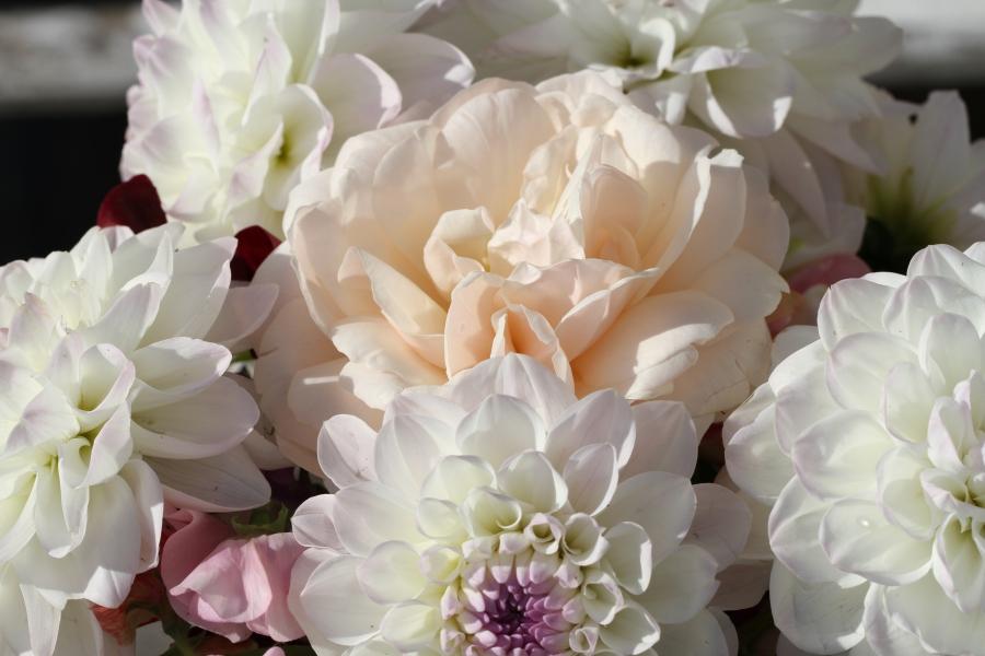 rose lichfield angel dahlia eveline