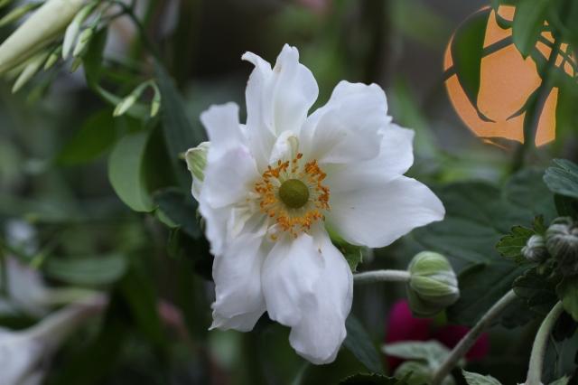 anemone cut flower