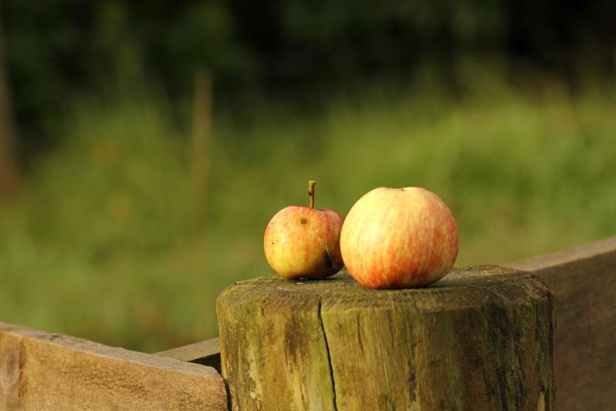 apples on fencepost