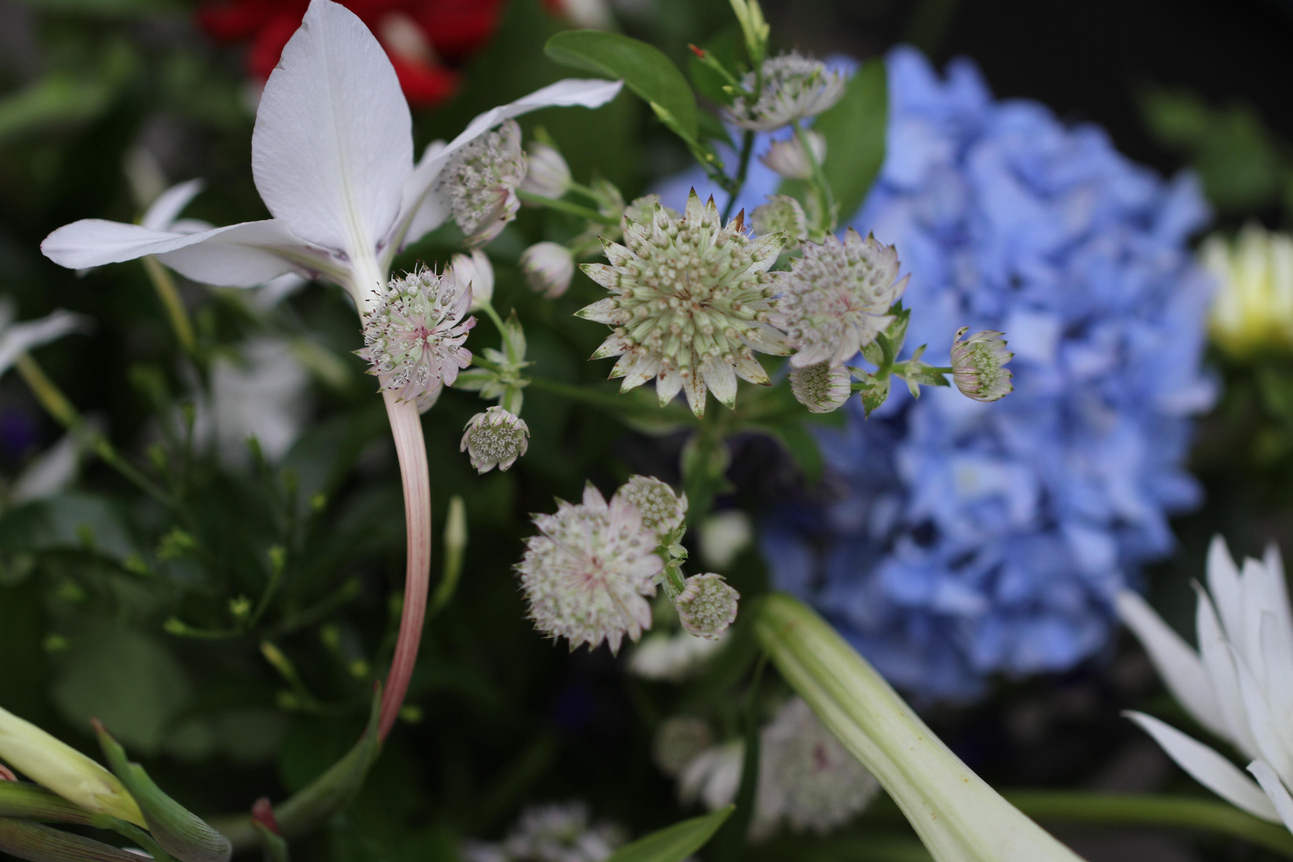 astrantia cut flowers