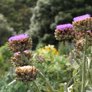 bees on artichokes