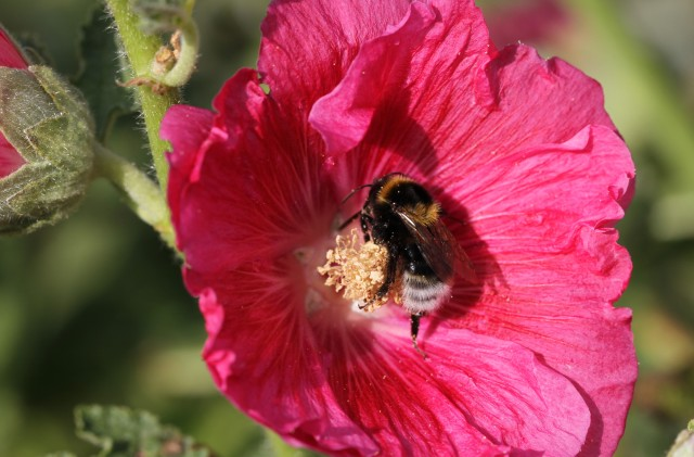 bumble bee in hollyhock