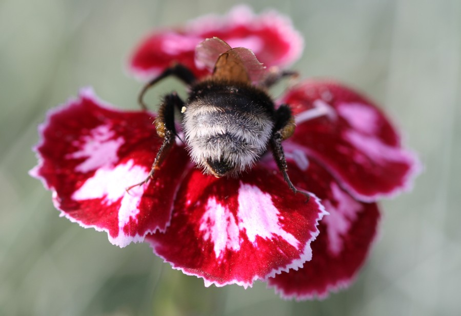bumble bee on dianthus