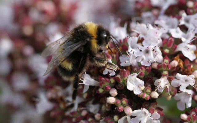 bumble bee on oregano
