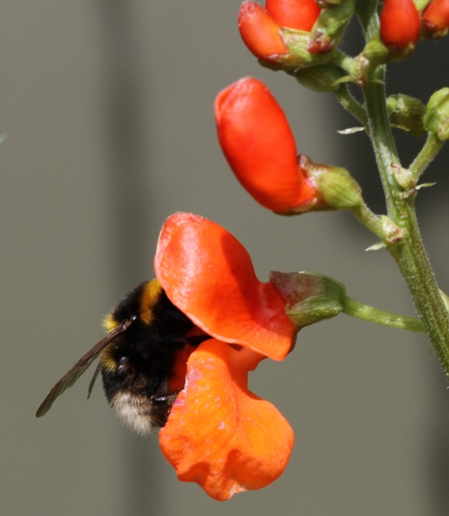 bumble bee on scarlet runner