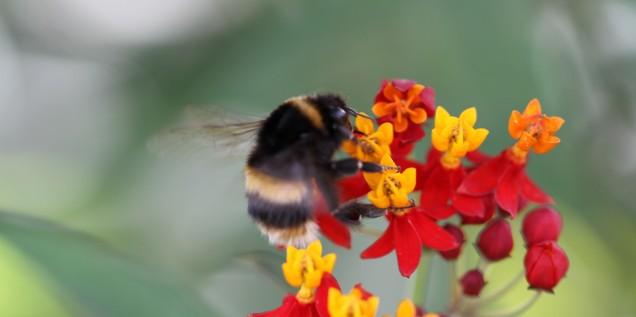 bumble bee on tropical milkweed asclepius