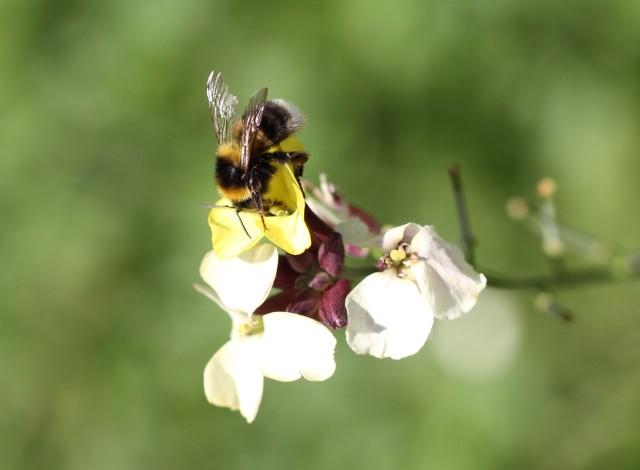 bumble bee on wallflower erysimum pastel patchwork