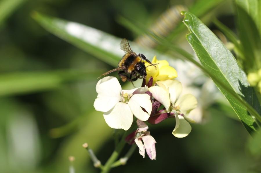 bumble bee on wallflower