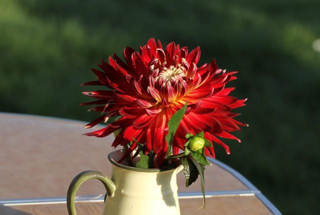 dahlia akita cut flower