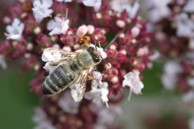 honey bee on oregano
