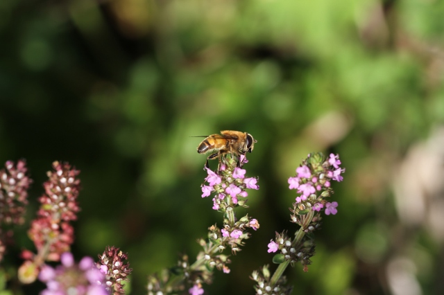 hover fly on thyme