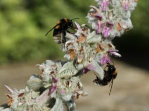 tandem bumble bees on lambs ears stachys lanata