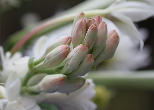 tuberrose bud