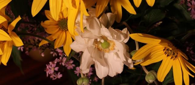 anemone girasol aster