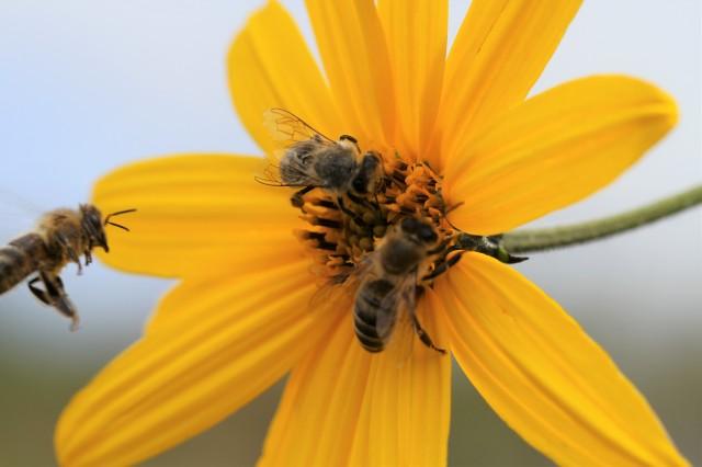 jerusalem artichoke flower wih 3 bees