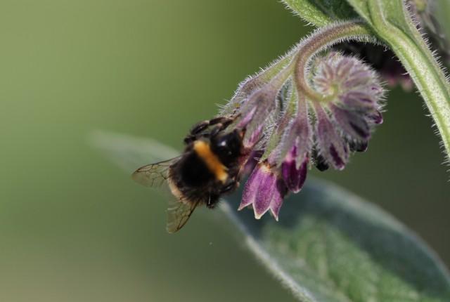 bee on comfrey flower