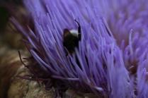 bumble bee upside down in artichoke flower