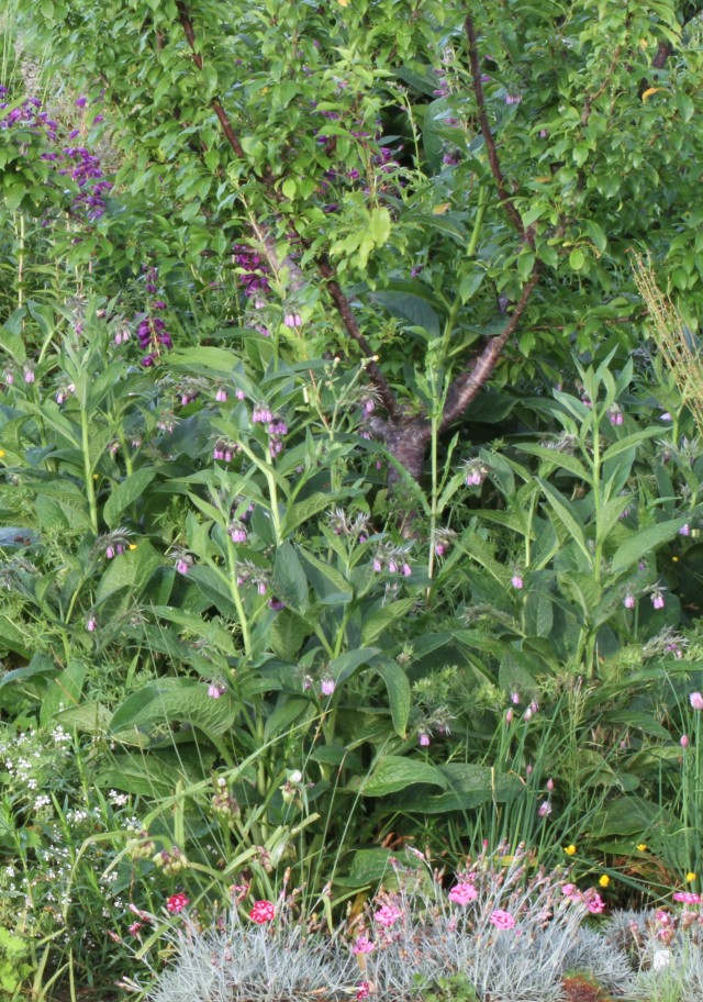 comfrey under plum tree